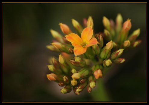 Kalanchoe Time Again. by Firey-Sunset