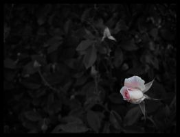 yet another pink rosebud by vertis