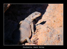 Chuckwalla, Death Valley by samtihen
