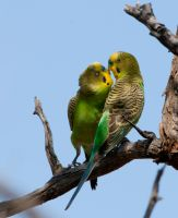 Budgerigars by Chezza932