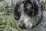 Blue Tick Hound by eelhsamarie