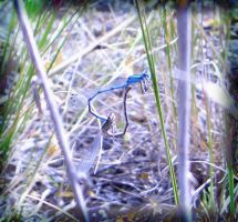 Dragonflies Copulating by cgkevin
