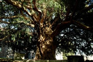 The Dundon Yew by EarthHart
