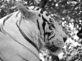 White Tiger by eftron