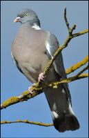 Bemused Woodpigeon by Somebody-Somewhere