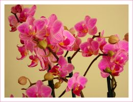 Orchids by Loony90