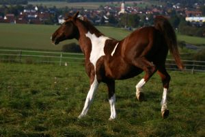American Saddlebred Stock 52 by LuDa-Stock