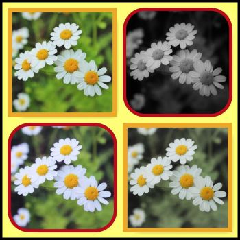 Daisies Collage by NIAB-Photography