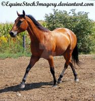 Quarter Horse 16 by EquineStockImagery
