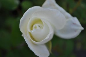 Ivory by Wolfgang-xx
