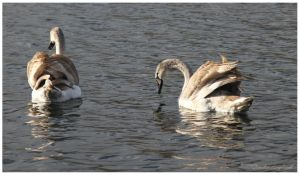 swans by Claudia008