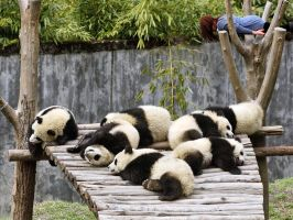 Planking with Pandas by doxieone