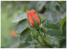 Rose bud by jankolas