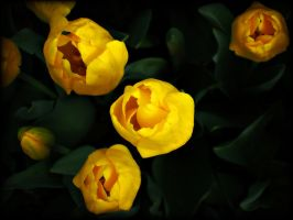 Yellow Tulips by raptiye
