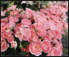 Sweden Roses by baby-pink