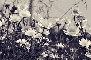 marguerites by dth75