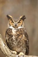 Great Horned Owl I by Naarah
