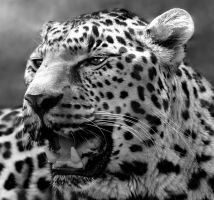 Leopard by CharlyJade