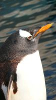 Gentoo Penguin Close-up by liger55
