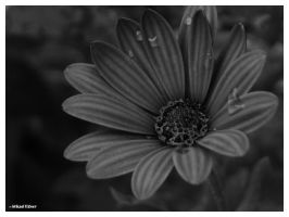 BW Flower by MKlver