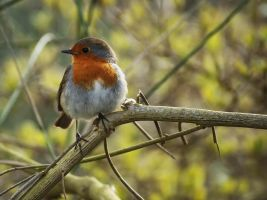 Hello Robin by Bazz-photography