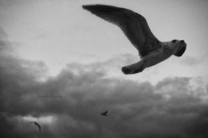 seagull by pigarot