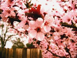 Cherry in Cherry Blossom by anjollie131415