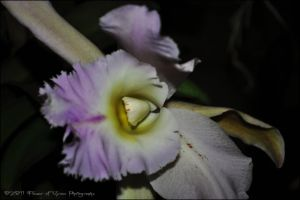 Dendrobium loddigesii by Flower-of-Grace