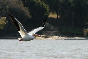 White Pelican in Flight by OrioNebula