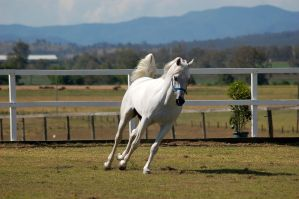 GE Arab white arab cantering front 3/4 by Chunga-Stock