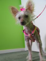 Chinese crested puppy by XxIma-DreamerxX