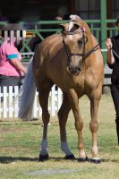 STOCK - 2014 TotR Arabians-27 by fillyrox