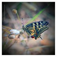 Papilio Machaon by Garelito-Photos