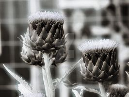 Artichoke I by MDGallery