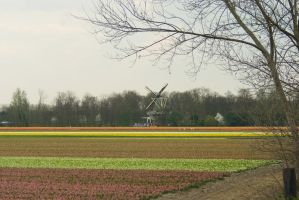 Flowering bulb fields 3 by steppelandstock