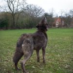 Howling Wolf, Rear View, Stock 20130401-1 by FurLined