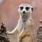 Meerkat V by deseonocturno