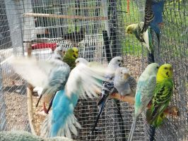 budgies in aviary by Ogilvie13