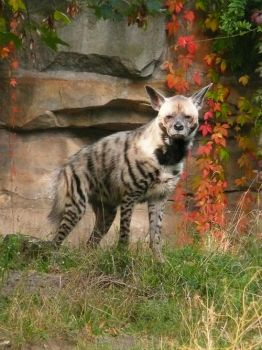 Striped Hyena and Red by ShiverZPhotography
