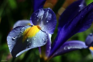 Dwarf Iris by George---Kirk