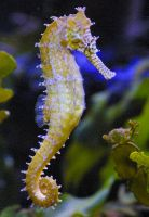 Seahorse by CH3CKMATE