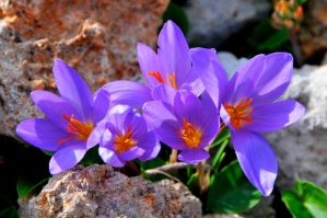 Yellow-throated Crocus by floramelitensis