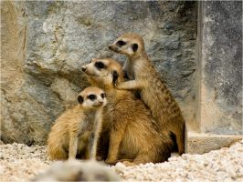 The usual meerkats by Constant-Wegman
