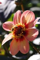 Pink flower and bee by Aralon