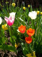 simple colourful tulips by hoshitsu