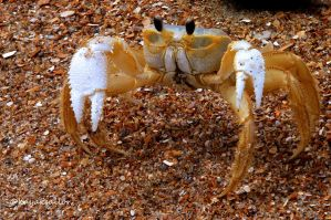 Ghost of a crab by kayaksailor