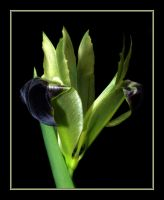 Green Iris by Althytrion