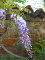 wisteria 3 by paolaquasar