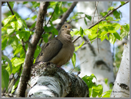 Mourning Dove on Birch by Mogrianne