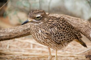 Spotted Thick-knee by joshthecartoonguy